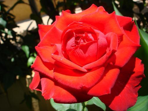 flores para jardim vermelhasFlores Virtuais – Mensagens – Paixão